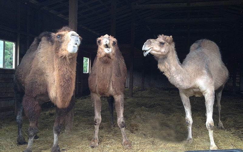 They Are Happy To Have You Take A Ride Rub Their Fur And Interact With Everyone Dromedary Camels One Hump Bactrian 2 Humps